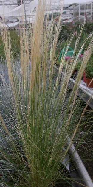Ornamental grasses for Best ornamental grasses for pots